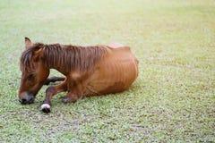 Maladie de cheval de brun de jambe cassée et maigre dans le pâturage pendant l'été extérieur images libres de droits
