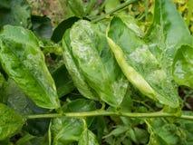 Maladie végétale photo libre de droits