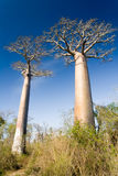 Malagasy baobabs Stock Images