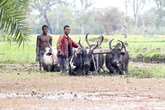 Malagasy farmers plowing agricultural field in traditional way Stock Image