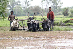 Malagasy farmers plowing agricultural field in traditional way Stock Images