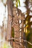 Malagasy giant chameleon Royalty Free Stock Image
