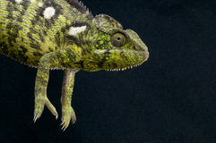 Malagasy Giant Chameleon / Furcifer oustaleti Royalty Free Stock Photos