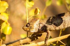 Malagasy giant chameleon, Furcifer oustaleti one of the largest Chameleons, grow up to 70 cm, reservation Ankarana, Madagascar Royalty Free Stock Images