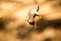 Malagasy giant chameleon, Furcifer oustaleti one of the largest Chameleons, grow up to 70 cm, reservation Ankarana, Madagascar Royalty Free Stock Photo