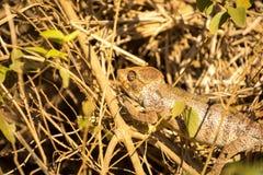 Malagasy giant chameleon, Furcifer oustaleti one of the largest Chameleons, grow up to 70 cm, reservation Ankarana, Madagascar Stock Image