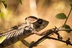 Malagasy giant chameleon, Furcifer oustaleti one of the largest Chameleons, grow up to 70 cm, reservation Ankarana, Madagascar Royalty Free Stock Photos