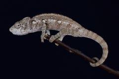 Malagasy giant chameleon / Furcifer oustaleti Stock Image