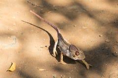 Malagasy giant chameleon, Madagascar Stock Photography