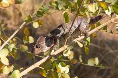 Malagasy giant chameleon, Madagascar Stock Photo