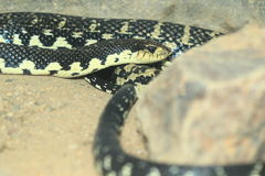 Malagasy giant hognose snake. On the soil stock photography