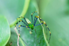 Malagasy green lynx spider Peucetia madagascariensis. Macro of beautiful Malagasy green lynx spider Peucetia madagascariensis. Masoala Peninsula National Park Stock Images