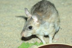 Malagasy jumping rat. On the soil Stock Photo