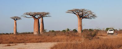 Malagasy landscape with baobabs, track and 4/4 vehicle. Stock Images