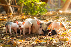 Malagasy pig family. A cute pig family (sus scrofa) with piglets and a sow in the morning sun in Madagascar royalty free stock images
