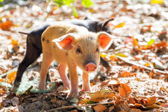 Malagasy piglet Royalty Free Stock Images