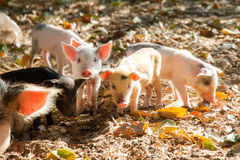 Malagasy piglets Stock Images