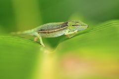 Malagasy side-striped chameleon Stock Photos