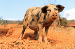 Malagasy sow Royalty Free Stock Photos