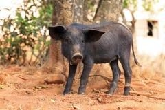 Malagasy sus scrofa. Cute black pig (Sus Scrofa) in Madagascar Stock Photos