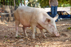 Malagasy sus scrofa Royalty Free Stock Photo