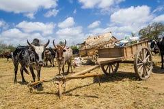 Malagasy zebus Stock Image