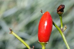 Malagueta pepper Royalty Free Stock Photography