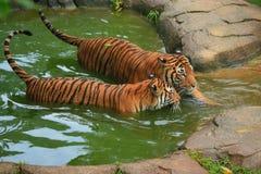 Malaiische badende Tiger-Paare Stockfotografie