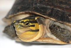 Malaiische Kastenschildkröte Stockfotografie