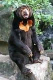 Malaiischer Sun-Bär stockfotografie
