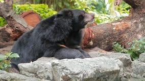 Malaiischer Sun-Bär stock footage