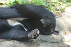 Malaiischer Sun-Bär mit seinem Paw Over His Nose Stockfotos