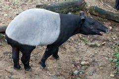 Malaiischer Tapir Stockbild