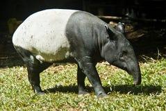 Malaiischer Tapir Stockfotos