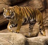 Malaiischer Tiger Lizenzfreie Stockfotos