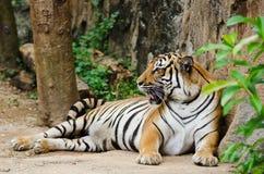 Malaiischer Tiger Lizenzfreie Stockbilder