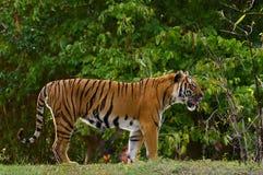 Malaiischer Tiger Lizenzfreies Stockfoto