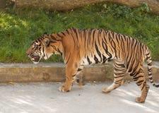 Malaiischer Tiger Lizenzfreie Stockfotografie
