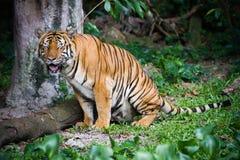 Malaiischer Tiger Stockbild