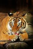 Malaiischer Tiger Stockfoto