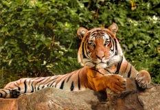 Malaiischer Tiger auf Alarm stockbild