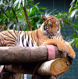 Malaiischer Tiger in der Gefangenschaft stockfotos