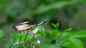 Malajiska lacewing, Cethosia cyane, Nymphalidaefamilj