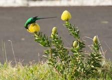 Malakit Sugar Bird som böjer över gul protea för att få till nektar Fotografering för Bildbyråer