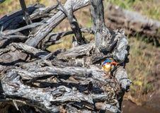 Malakitkungsfiskare som sitter på ett dött träd nära den Chobe floden i Botswana arkivbilder