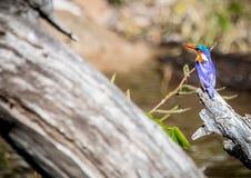 Malakitkungsfiskare som sitter på ett dött träd nära den Chobe floden i Botswana fotografering för bildbyråer