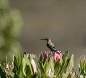 Malakitsunbird eller Nectarinia famosa fotografering för bildbyråer