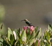 Malakitsunbird eller Nectarinia famosa royaltyfri bild
