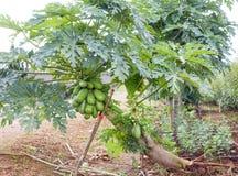 Malakoo -番木瓜农场 免版税库存照片