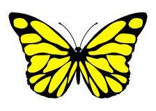 Malalachite butterfly. Siproeta stelenes - malalachite butterfly isolated - Yellow butterfly with black spots Stock Images